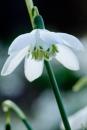 Galanthus olwe....