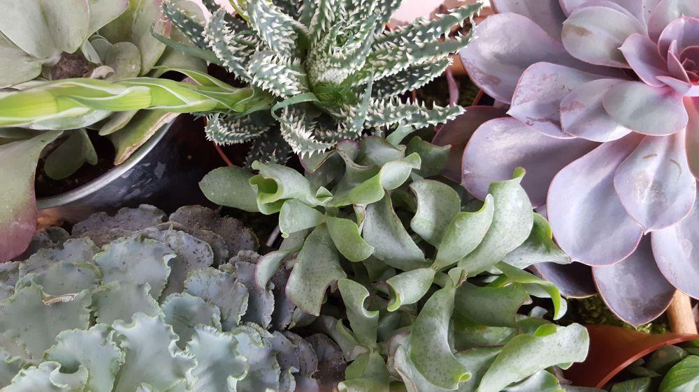 Succulentes petites.jpg