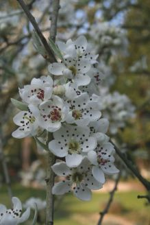Arbres: Pyrus salicifolia 'Pendula'