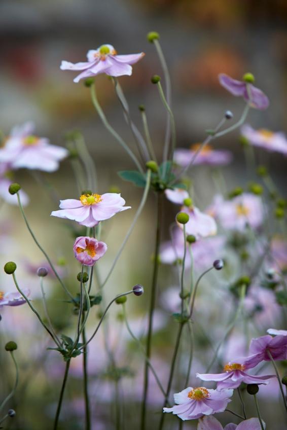 anemones-white-britt-willoughby-dyer-gardenista-BN2A0172