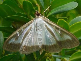papillon pyrale