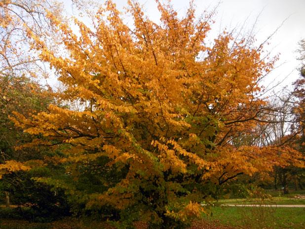 Arboretum-Du-Breuil-Parrotia-persica-à-lautomne