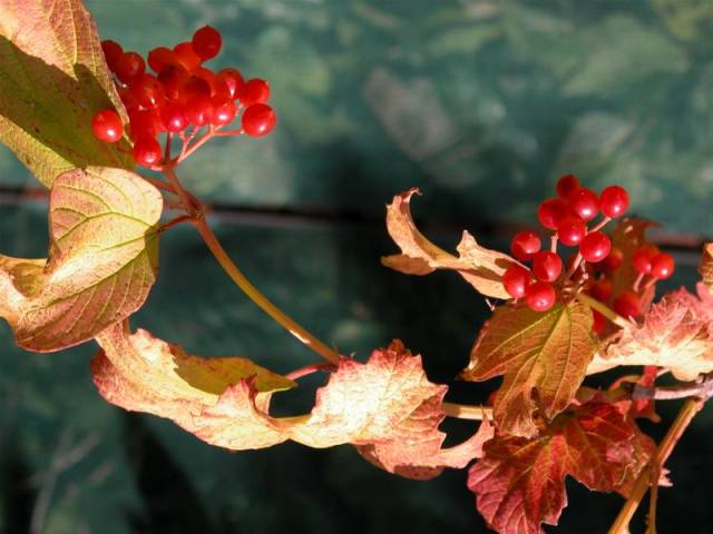1-Viburnum-opulus-Lady-Marmelade-fruits-Medium-