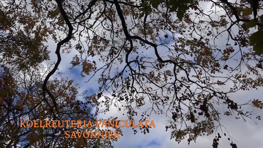 2018-11-06-APJA-ARBORETUM DU BREUIL-17-SAVONNIER