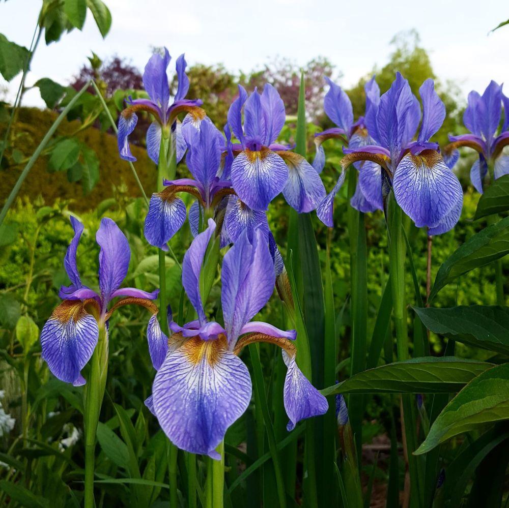 iris bleues